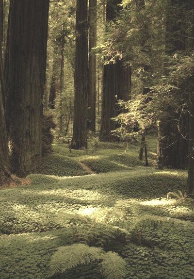 Redwood Forest Floor, Humboldt, California